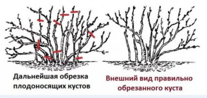 Обрезка крыжовника весной, осенью и зимой