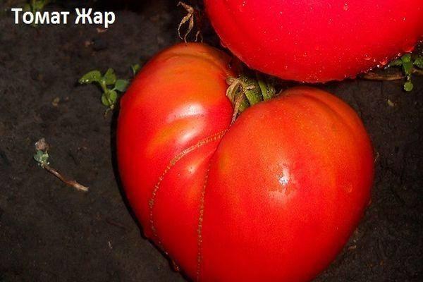Характеристика томата Жар Горящие угли, выращивание и правильный уход за сортом