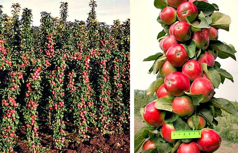 Садоводы делятся информацией, почему яблоня не цветет