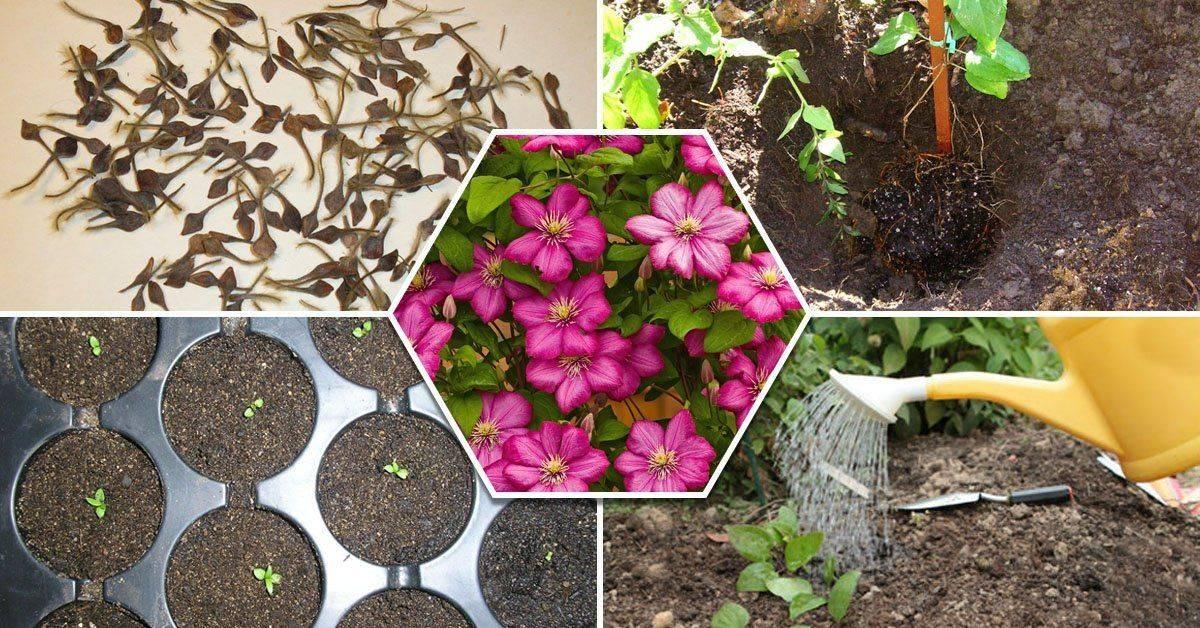 Клематис: посадка и уход в открытом грунте, выращивание из семян, виды и сорта