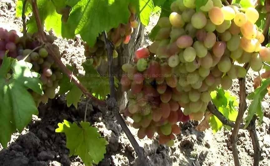 Виноград юлиан: описание сорта, фото, отзывы, видео, уход