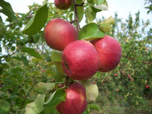 Яблоня конференция: особенности сорта и ухода