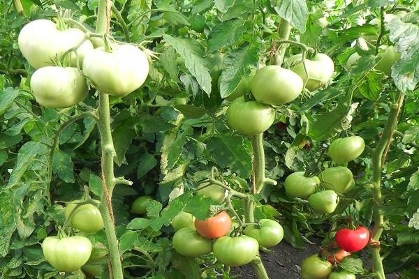 Томат гордость сибири: отзывы, фото, урожайность, характеристика и описание сорта