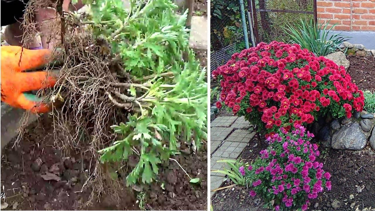 Как посадить хризантемы в открытый грунт весной и осенью