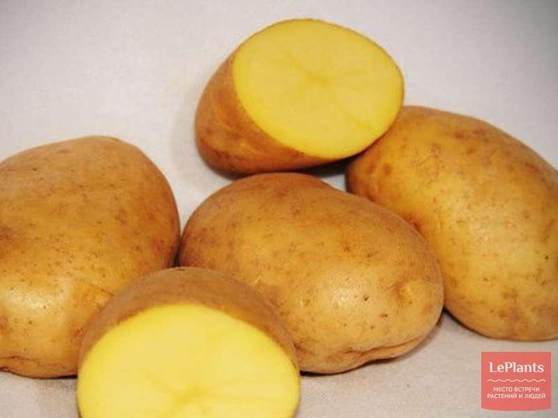 Описание и характеристика сорта картофеля Латона, правила посадки и ухода