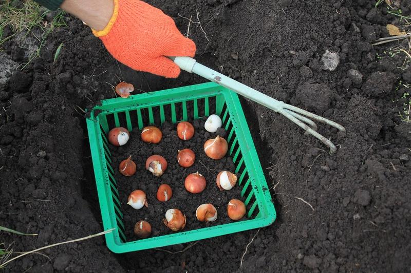 Выращивание луковичных в прикопанных контейнерах