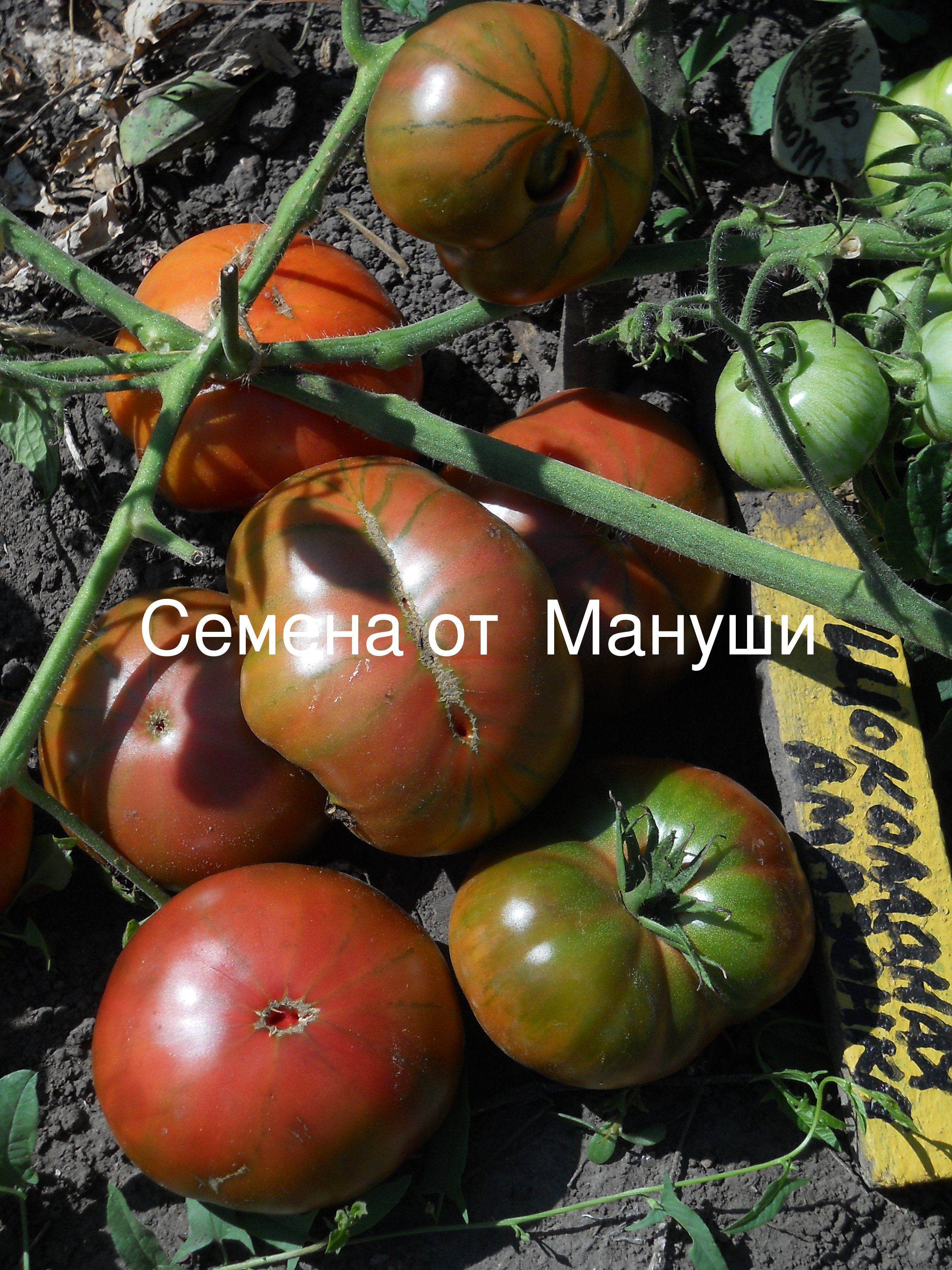Томат африка f1: отзывы о том где лучше растут помидоры, описание и характеристики сорта