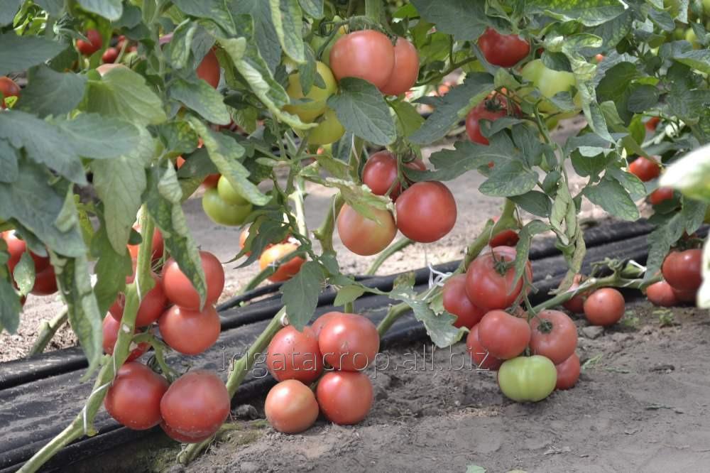 Энерго — томаты с крупными плодами, а не ботвой!