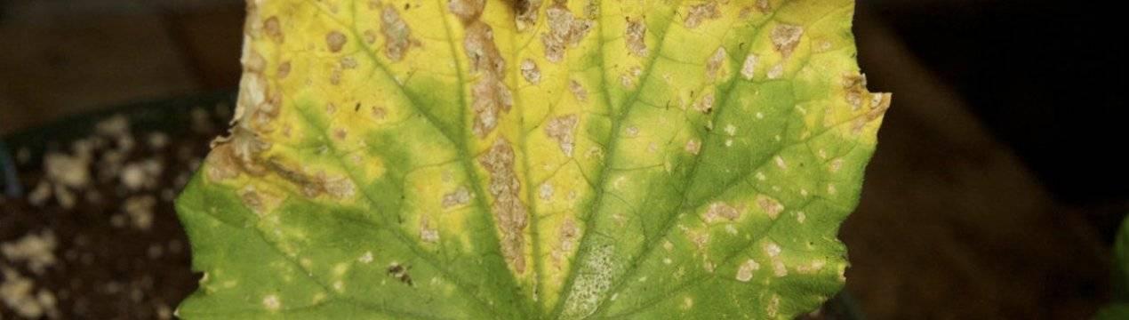 Пятна на листьях огурцов: причины заболевания растения | спутниковые технологии