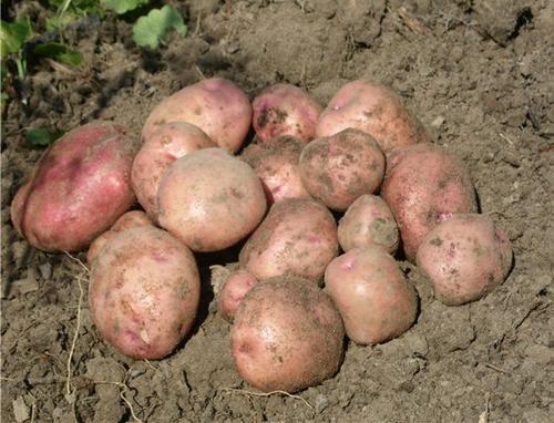 Картофель снегирь: характеристика сорта, достоинства, посадка, уход, отзывы