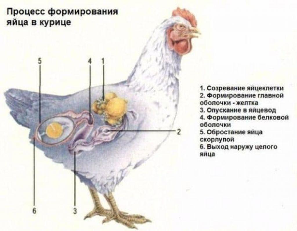 Почему куры не несутся, как на яйцекладку влияет освещение и другие условия