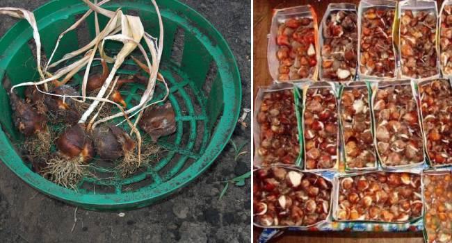 Луковицы тюльпанов: сроки выкапывания, хранение, посадка
