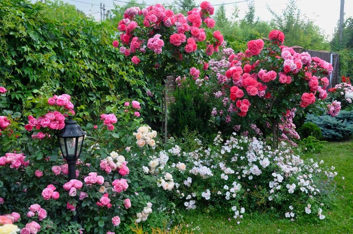 Роза розариум ютерсен – описание сорта, посадка и уход, выращивание