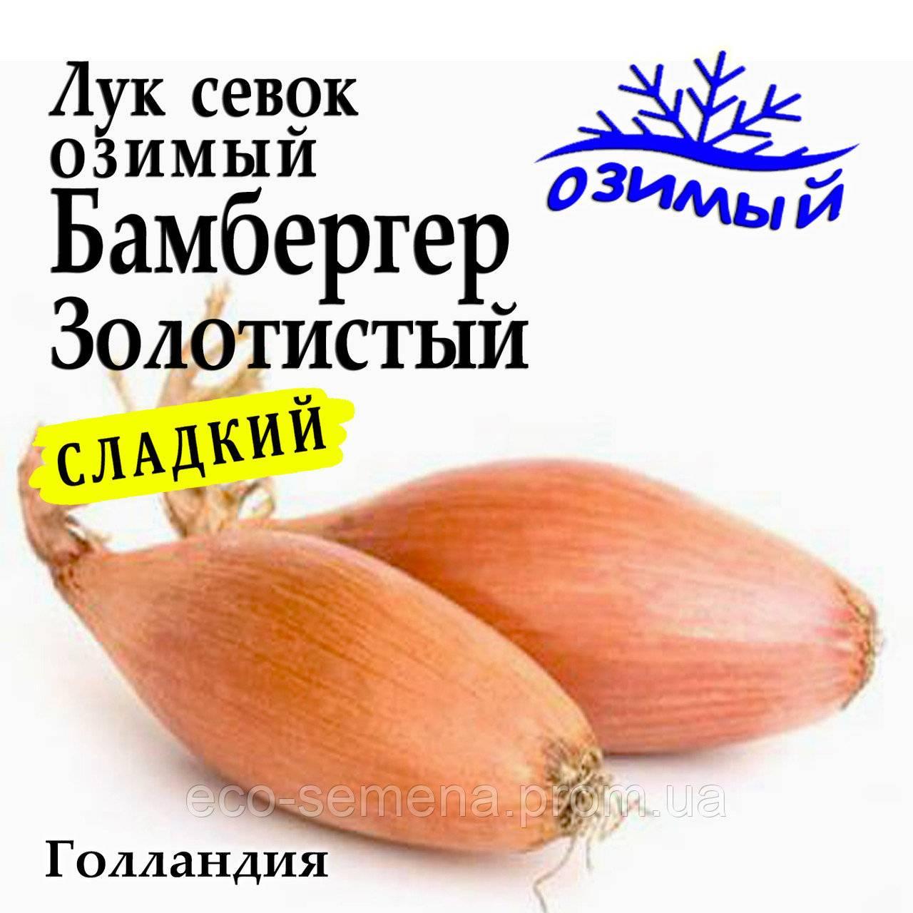 Лук севок бамбергер: описание сорта, посадка и выращивание