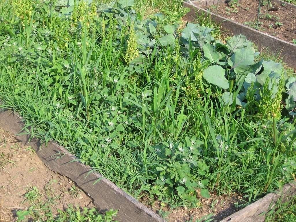 Какую пользу и какой вред приносят сорняки в огороде