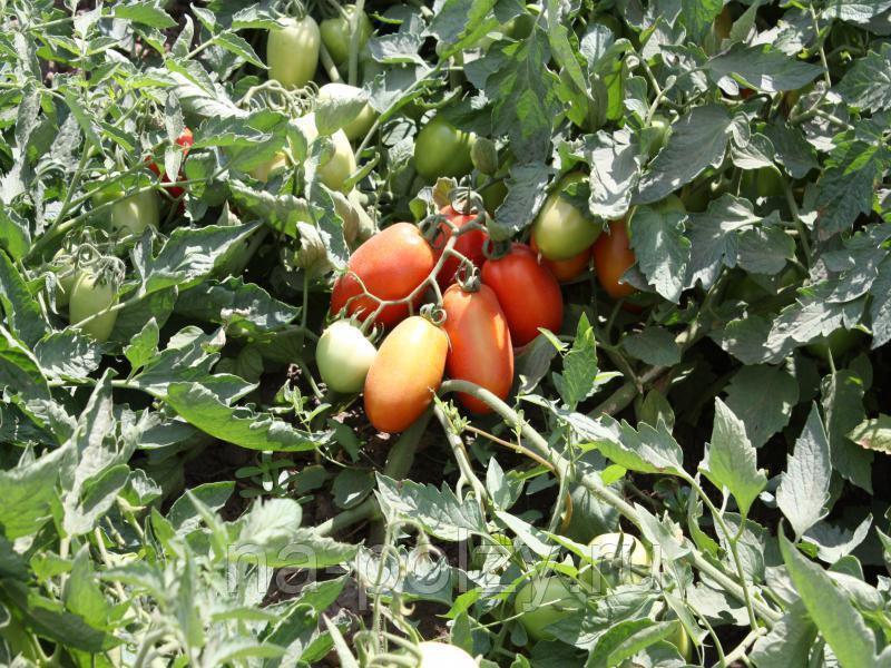 Описание сорта томата фунтик, его характеристика и урожайность