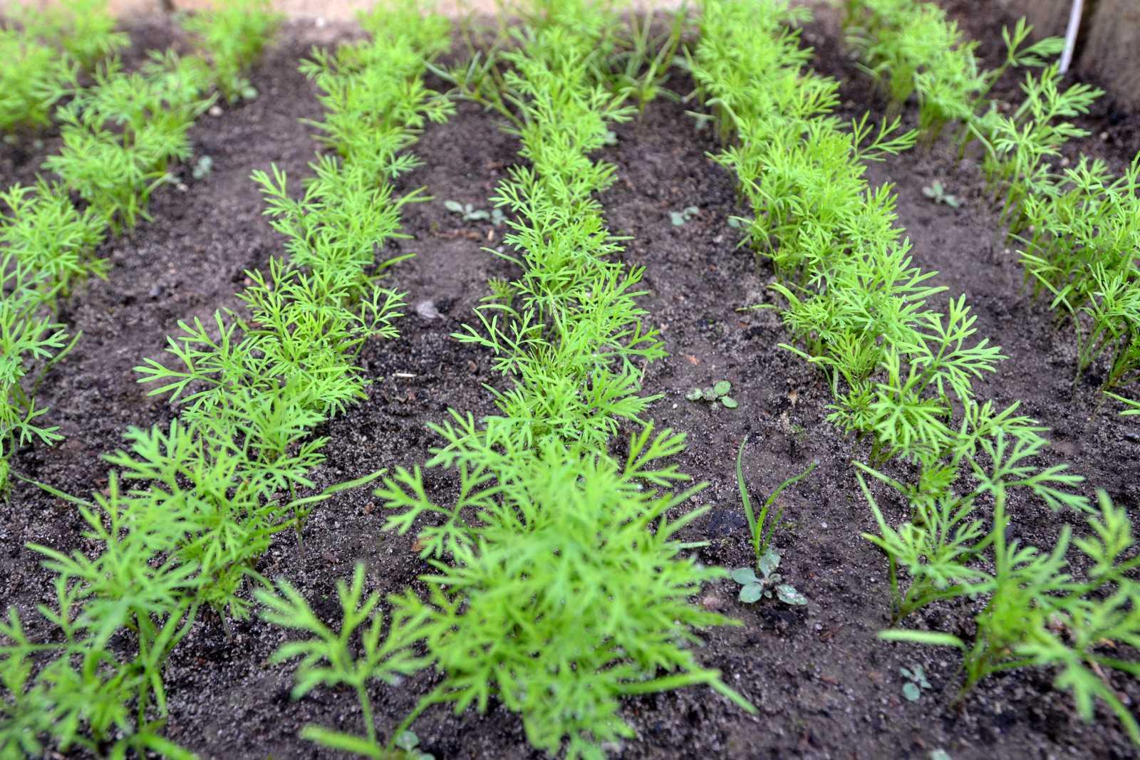 Как посадить морковь чтобы быстро взошла: познаем во всех подробностях