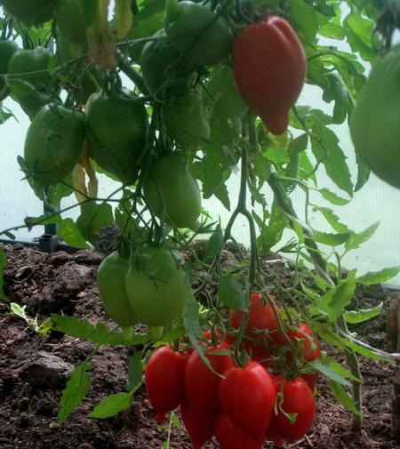 Томат легенда тарасенко: описание и характеристика сорта, фото, отзывы, урожайность   tomatland.ru