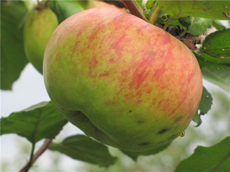 Сорт яблони штрейфлинг: описание, фото