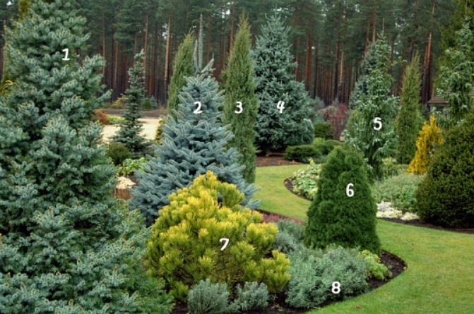 Хвойные деревья и кустарники
