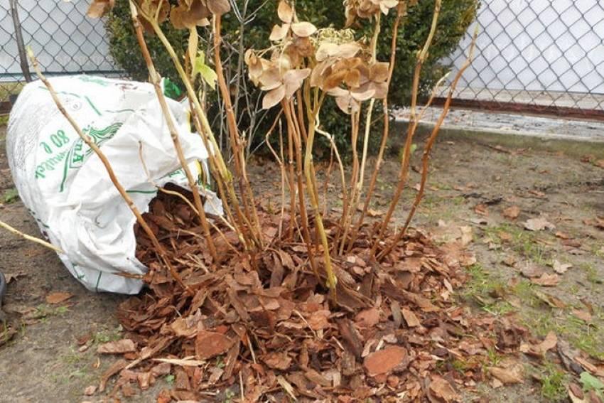 Хоста – уход осенью и подготовка к зиме: основные процедуры