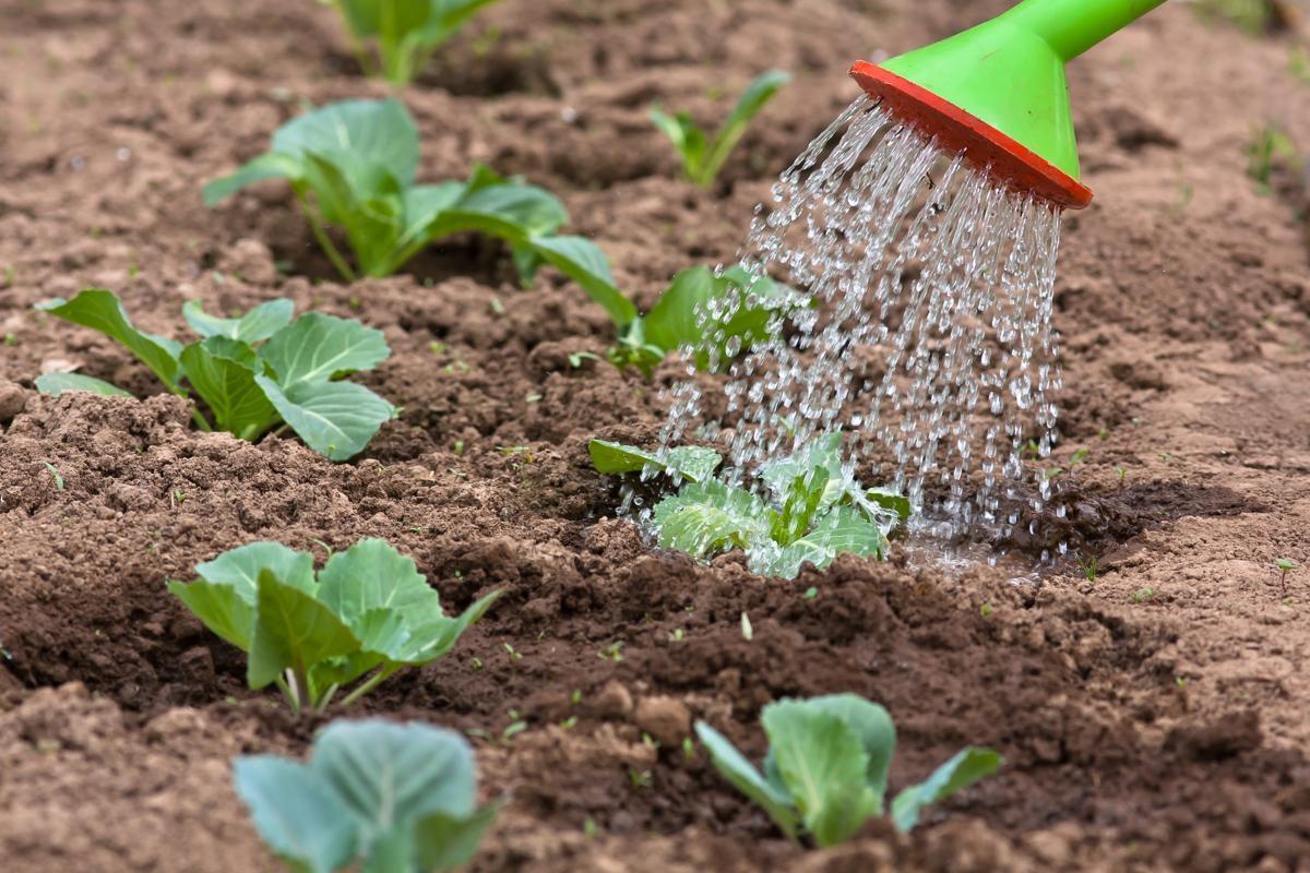 Базилик: выращивание из семян в открытом грунте, рассада на подоконнике, фото