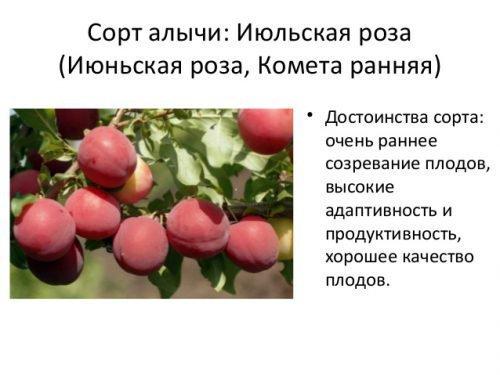 Описание алычи сорта июльская роза, правила посадки и ухода