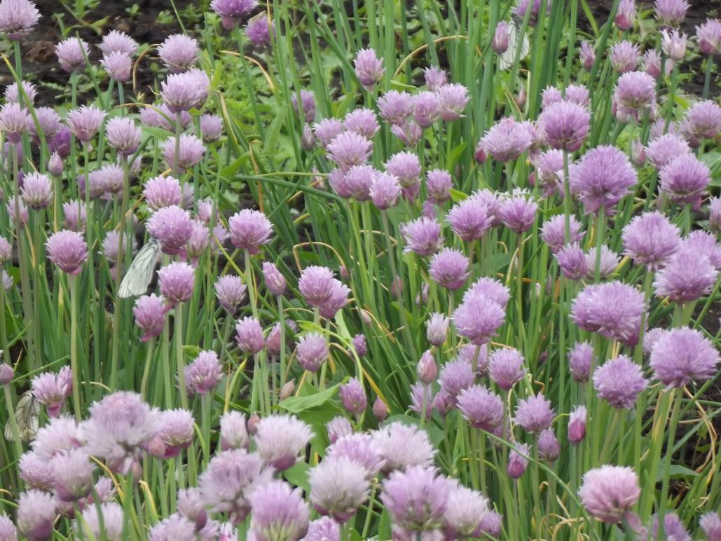 Лихнис: виды и сорта, разведение в саду