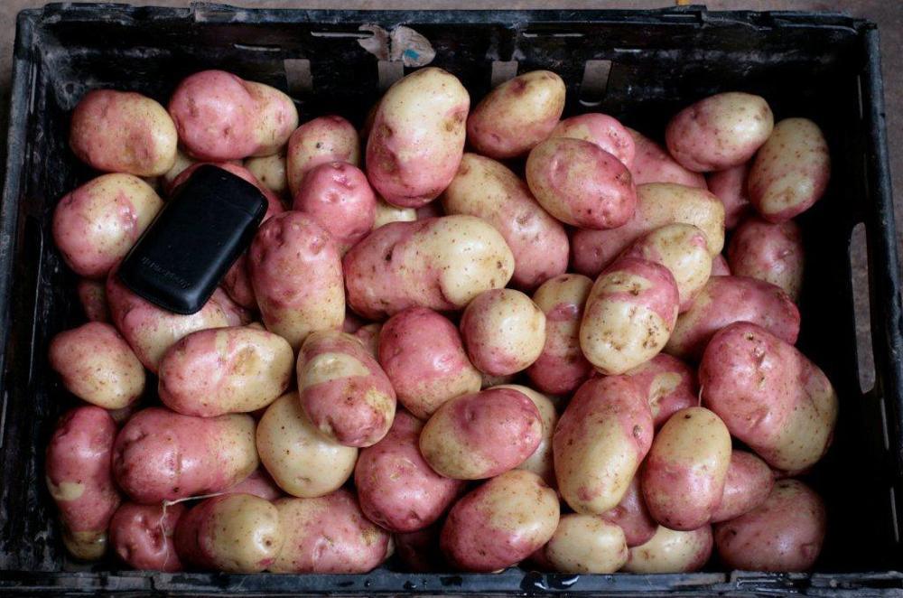 """Картофель """"иван да марья"""": описание сорта, характеристика и фото русский фермер"""