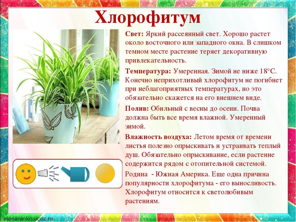 Хлорофитум: происхождение и родина названия, разновидности комнатного цветка с фото, виды и сорта зеленого растения, как выращивать цветок в домашних условиях?
