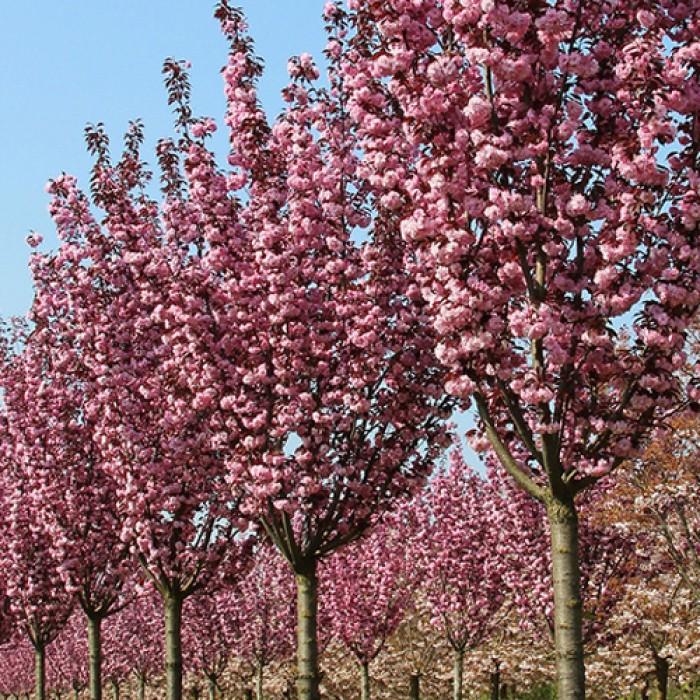 Декоративная японская вишня – укрась свой сад