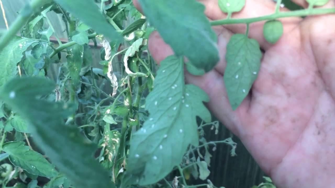 Как избавиться от белокрылки на томатах в теплице и на рассаде
