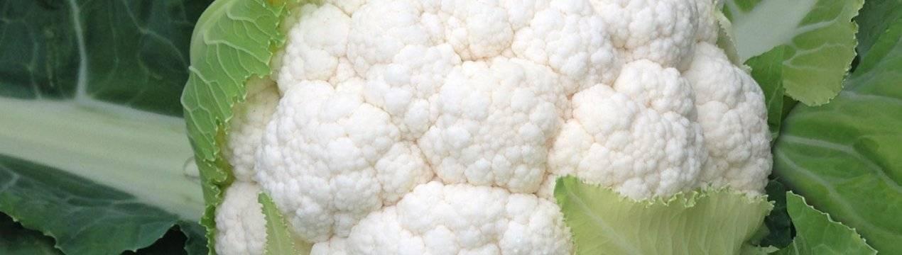Почему не завязываются кочаны цветной капусты и что делать, как исправить