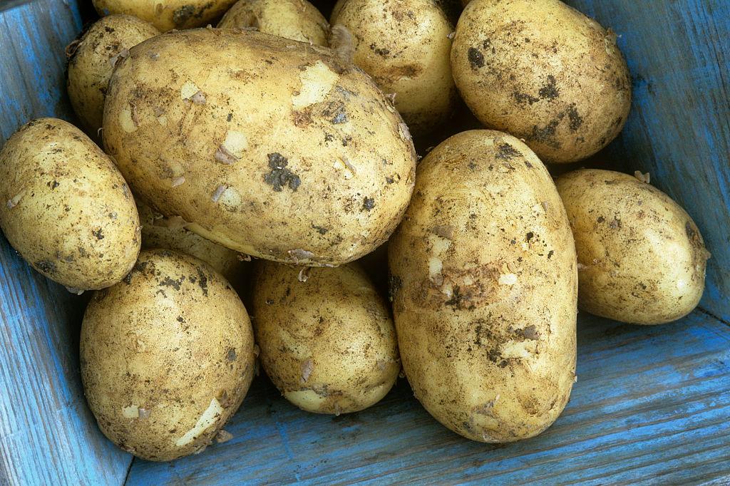 Картофель зорачка: характеристика, описание и фото сорта, история селекционирования, особенности выращивания и ухода, болезни и вредители корнеплода