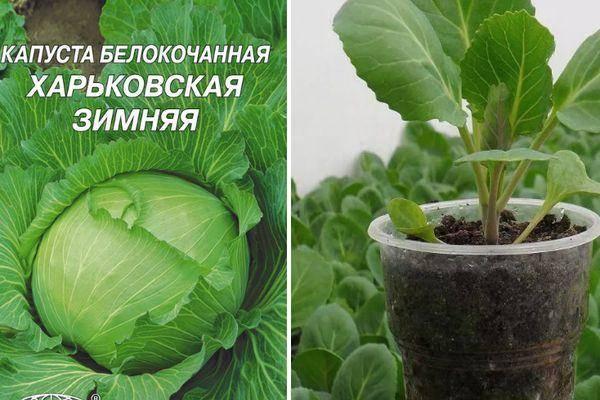 Сорта поздней капусты: описание лучших видов, выращивание, посадка и уход с фото