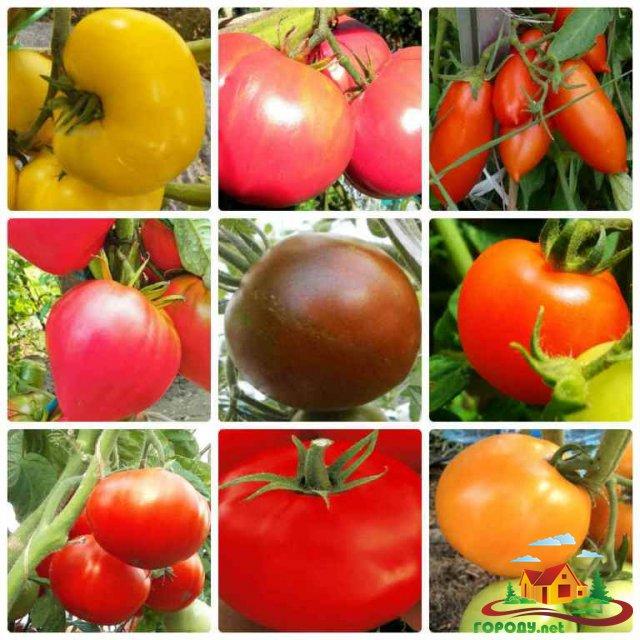 Сорта низкорослых томатов для ленинградской области