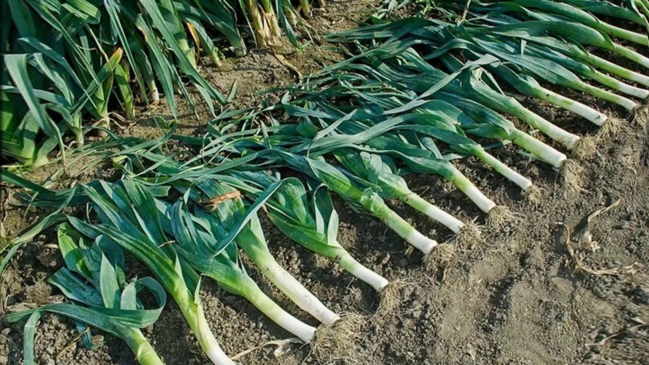 Лук порей, какие бывают сорта, как выращивать и хранить, чтобы не портился