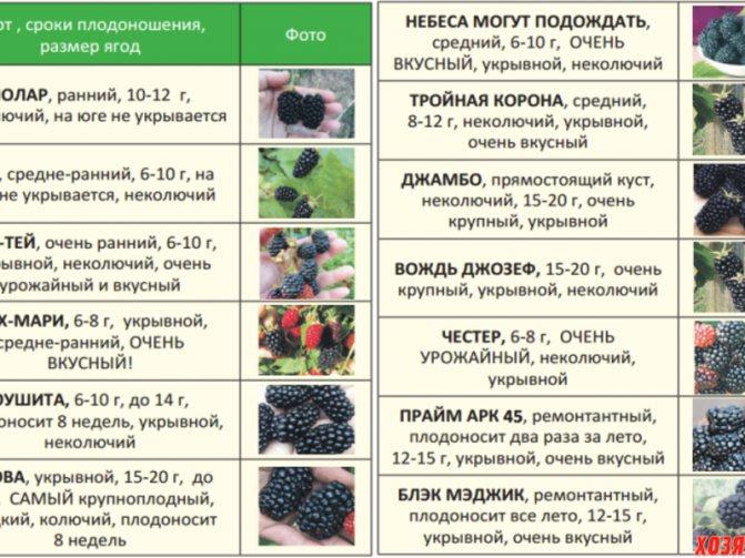 Ежевика на урале: лучшие сорта, выращивание, укрытие на зиму
