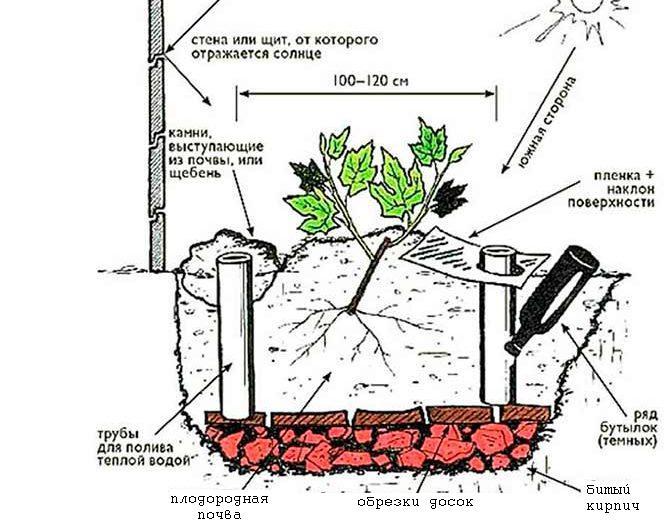 Сорт винограда супер экстра: описание и советы по выращиванию