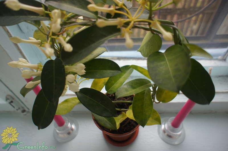 Стефанотис — лиана из мадагаскара. уход в домашних условиях. фото — ботаничка.ru