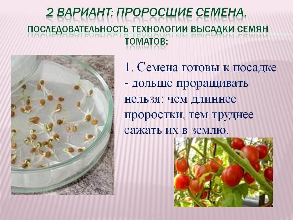 Через сколько дней всходят семена помидор: сроки и условия для прорастания