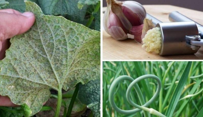 Как обработать или опрыскать капусту от вредителей валерьянкой - всё про сады