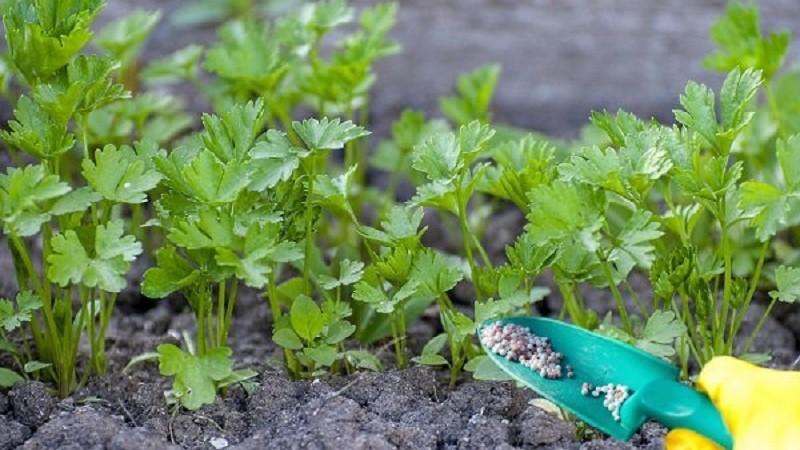 Как посеять петрушку, чтоб быстрее взошла: что надо сделать для правильной посадки семян в открытый грунт весной, как ускорить всходы, добиться за 3 дня прорастания? русский фермер