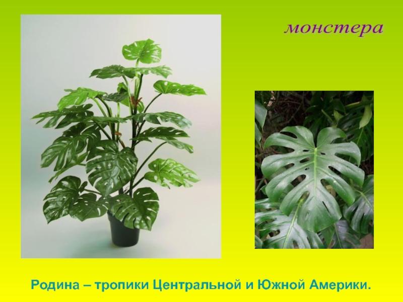 Цветы монстера: описание, подкормка, полив. как ухаживать за монстерой - sadovnikam.ru