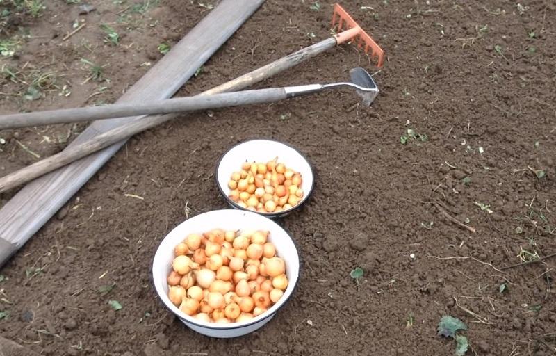 Как подготовить почву для посадки чеснока (весной, осенью) - про сорта