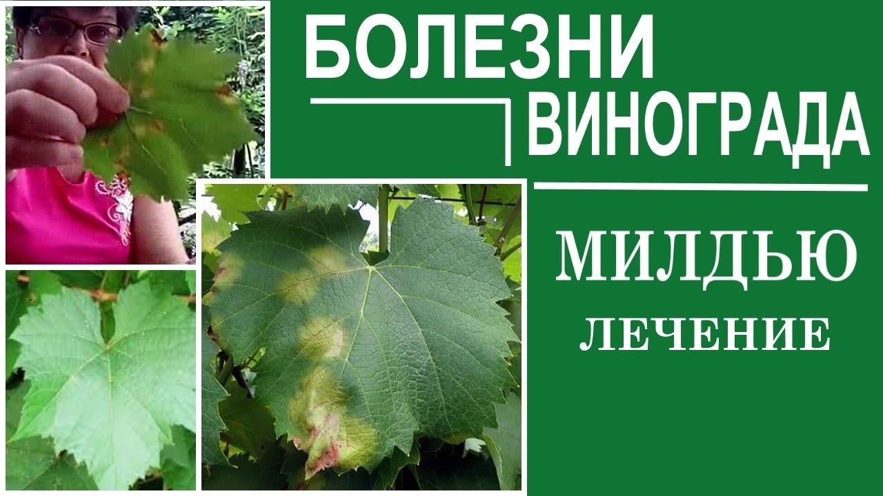 Милдью винограда лечение народными средствами меры борьбы и обработка(фото)