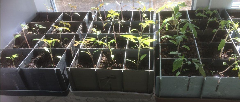 Правила и варианты подкормки рассады помидоров после пикировки