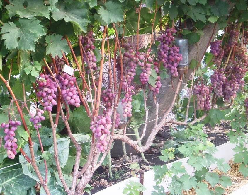 Особенности агротехники морозоустойчивого и урожайного винограда виктория