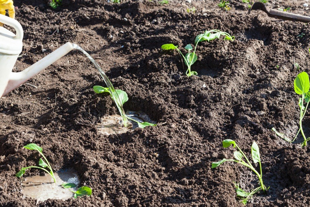 Правильное выращивание рассады капусты — ботаничка.ru