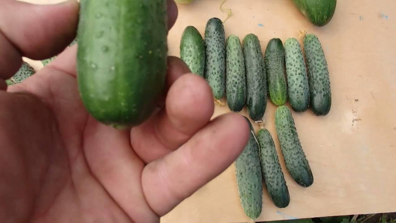 Огурец-гибрид «бабушкин внучок f1»: описание и особенности агротехники
